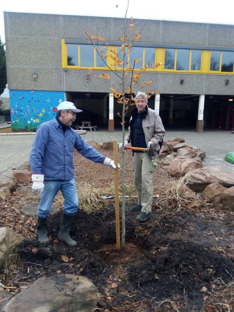 Rotbuche im Schulhof erneuert